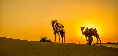 2 Camels at sunset - Thar Desert - Nr Jaisalmer - Rajasthan - India