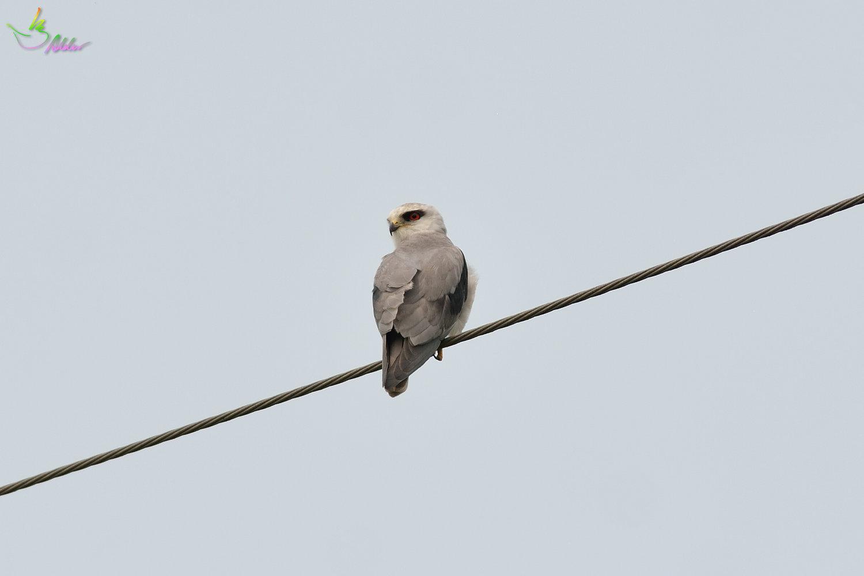 Black-shouldered_Kite_3790