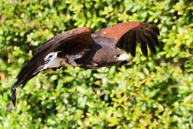 Female Harris Hawk, Akari in Flight : ハリスホークの朱里(あかり)の飛翔