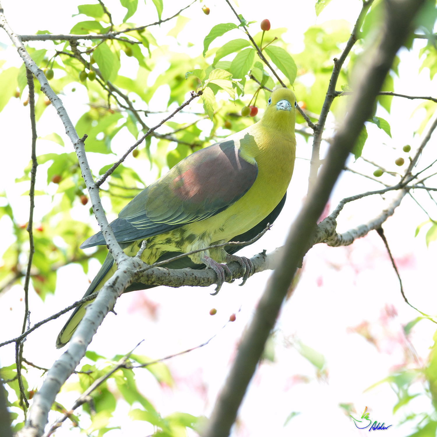 White-bellied_Green_Pigeon_5664