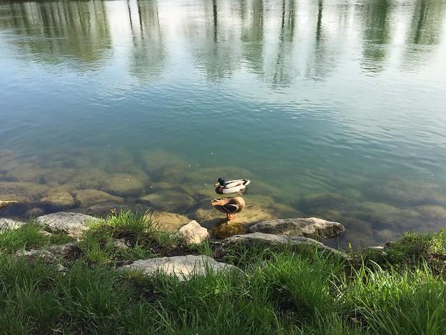 M - Ducks on the River Aar