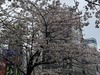 渋谷駅ハチ公口の桜