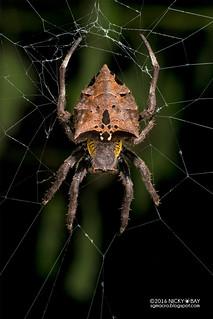 Orb weaver spider (Parawixia sp.) - DSC_3700