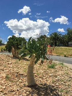 Aloen auf der Hugel Street, Windhoek