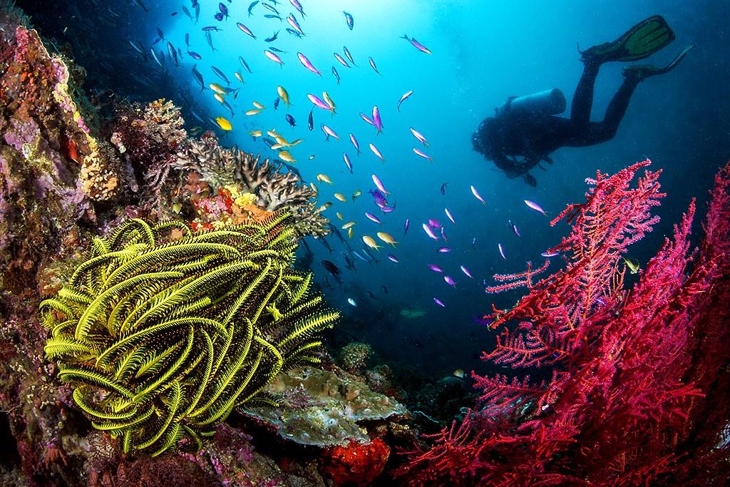 Diver on Balicasag wall