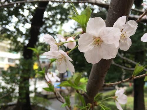 代官山アドレスの桜 2016.4.3