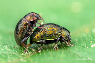 Leaf beetles (Chrysomelidae) - DSC_4331