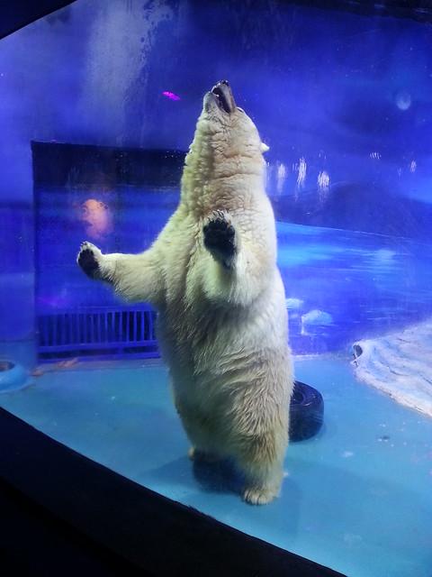A polar bear at the Grandview Aquarium