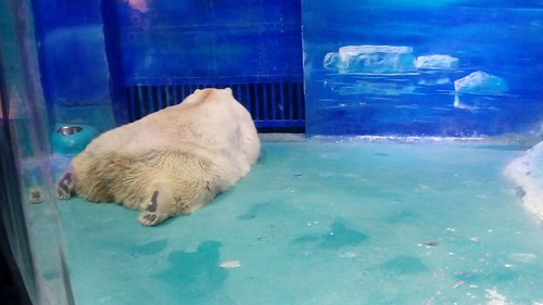 A polar bear at the Grandview Aquarium