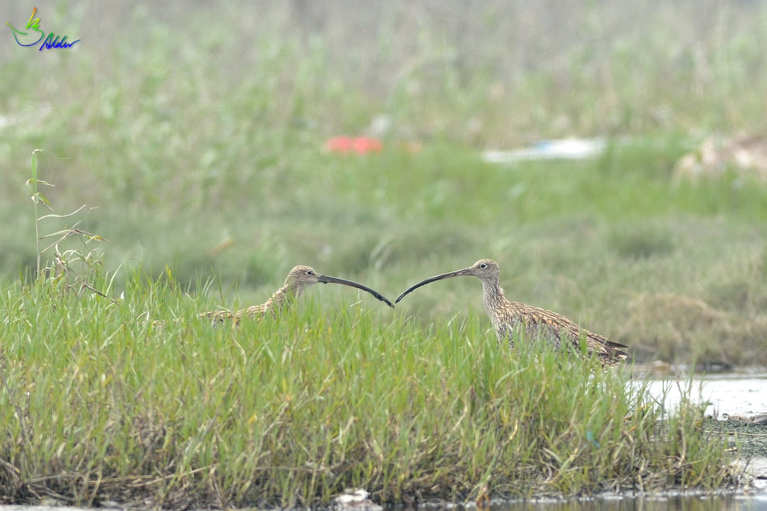 Far_Eastern_Curlew_2321