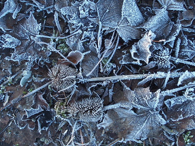 Frosty leaf litter under fruit trees