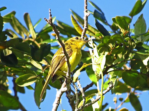 Capsiempis flaveola (Marianinha-amarela/Yellow Tyrannulet)