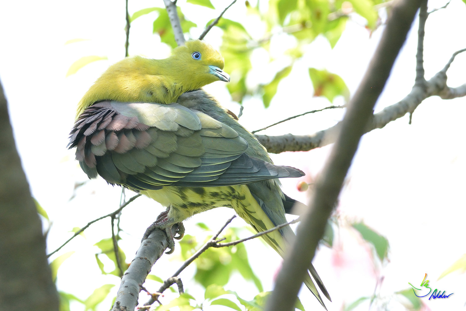 White-bellied_Green_Pigeon_5774