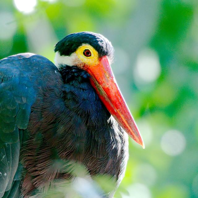 Storm's Stork (Ciconia stormi)_2