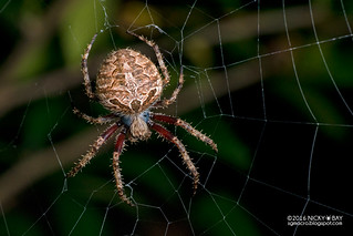Orb weaver spider (Neoscona sp.) - DSC_9169