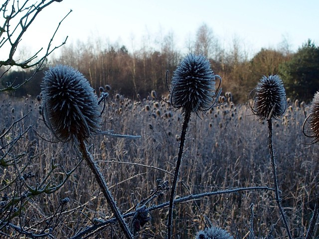 Frosty teasels, not fruit trees