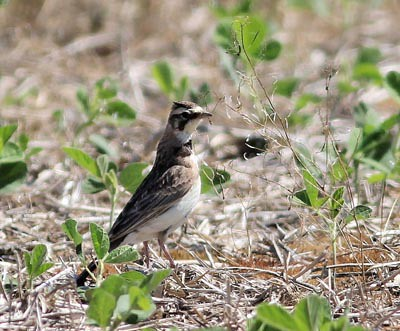 Horned Lark © Tom Fishburn, Margaret Peak Preserve