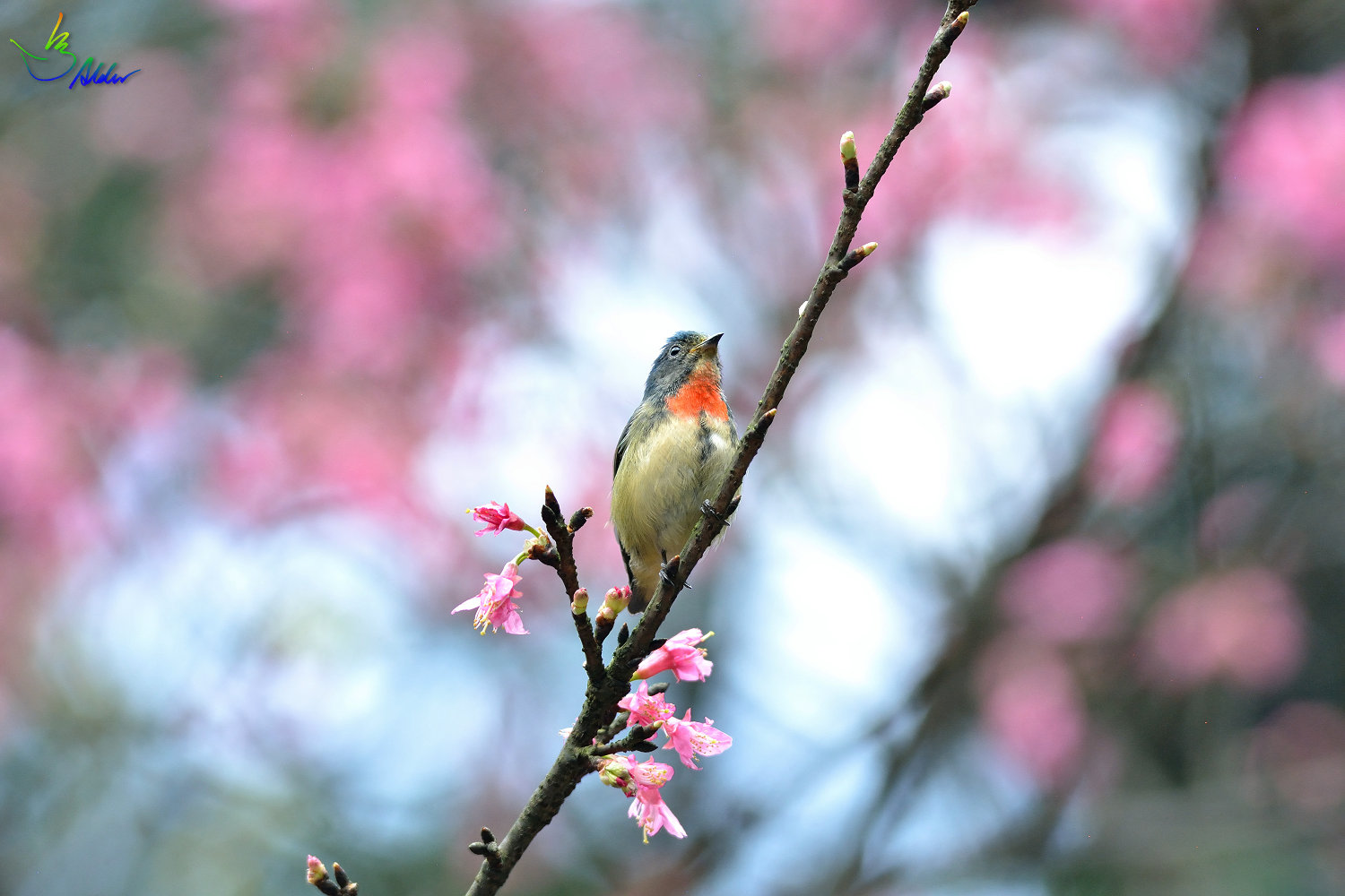 Fire-breasted_Flowerpecker_1864