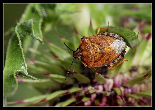 Carpocoris pudicus (2)