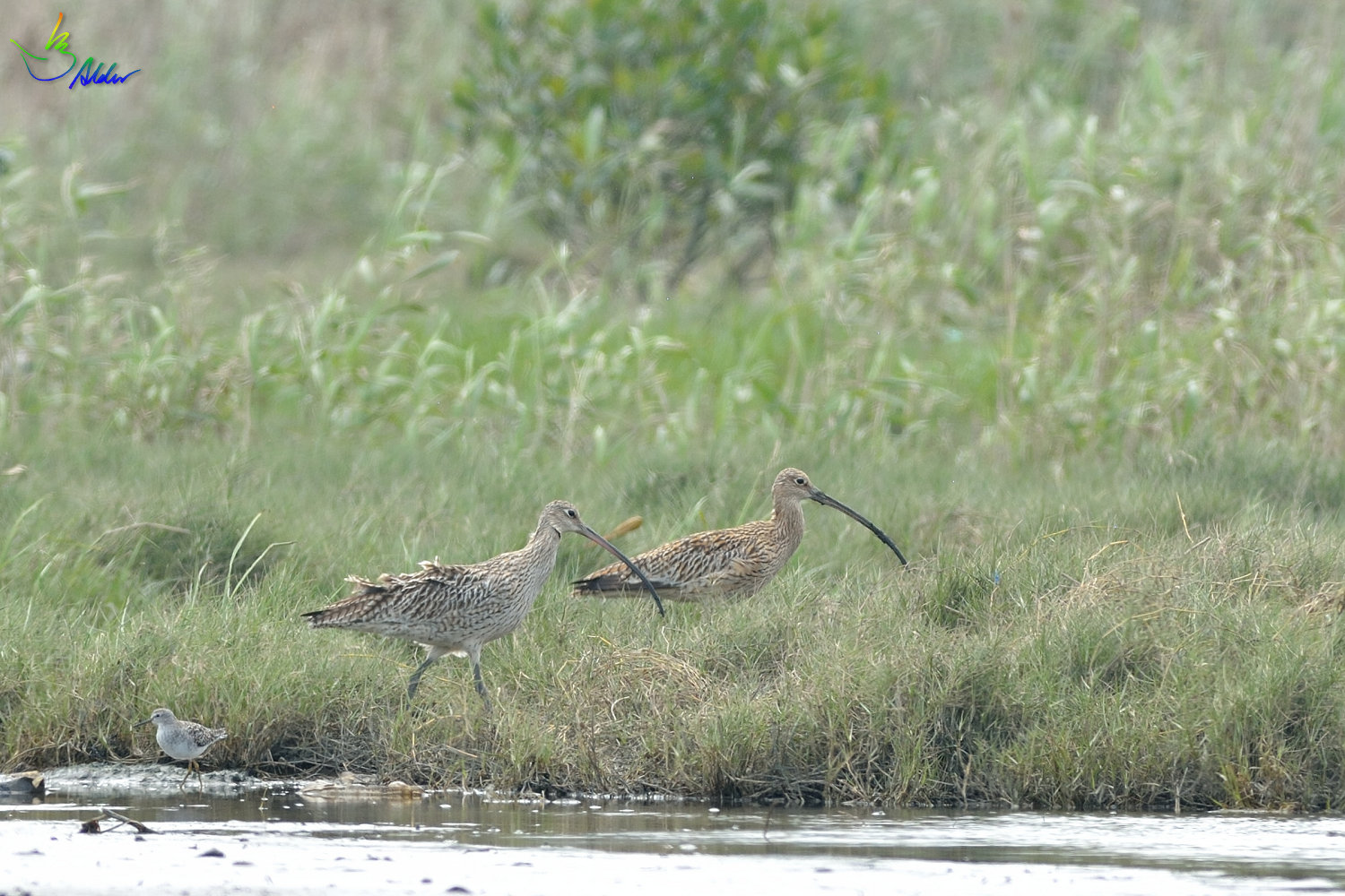 Far_Eastern_Curlew_2341