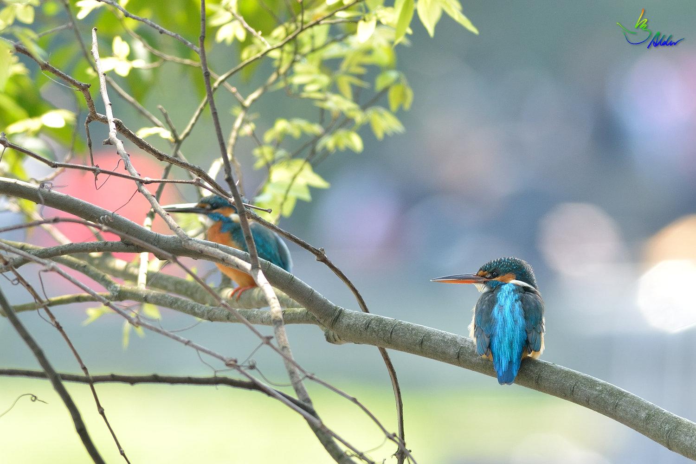 Common_Kingfisher_2815
