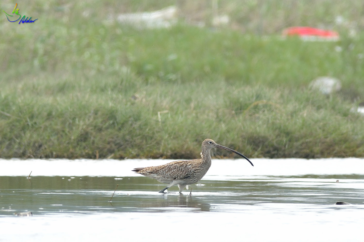 Far_Eastern_Curlew_2380
