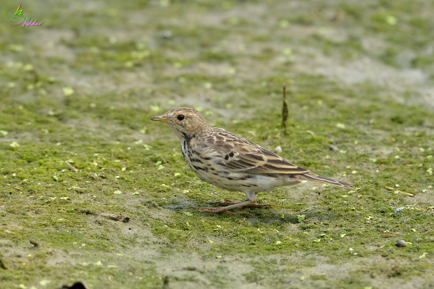 Red-throated_Pipit_3434