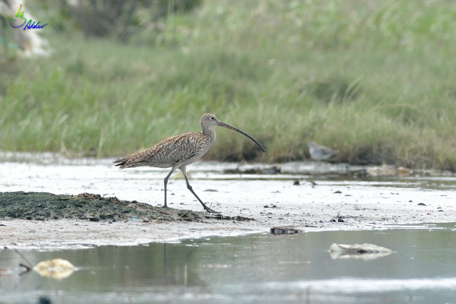 Far_Eastern_Curlew_2352