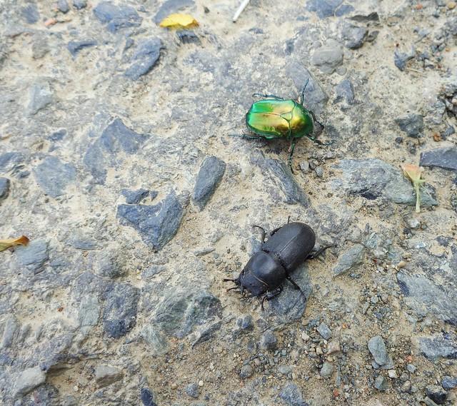 Roháček kozlík (Dorcus parallelipipedus) + Zlatohlávek skvostný (Protaetia speciosissima)