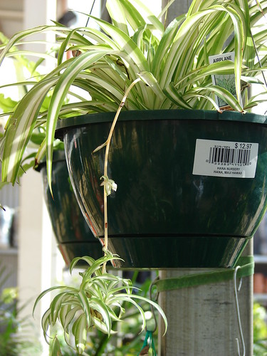 starr-080117-2213-Chlorophytum_comosum-hanging_basket-Home_Depot_Nursery_Kahului-Maui