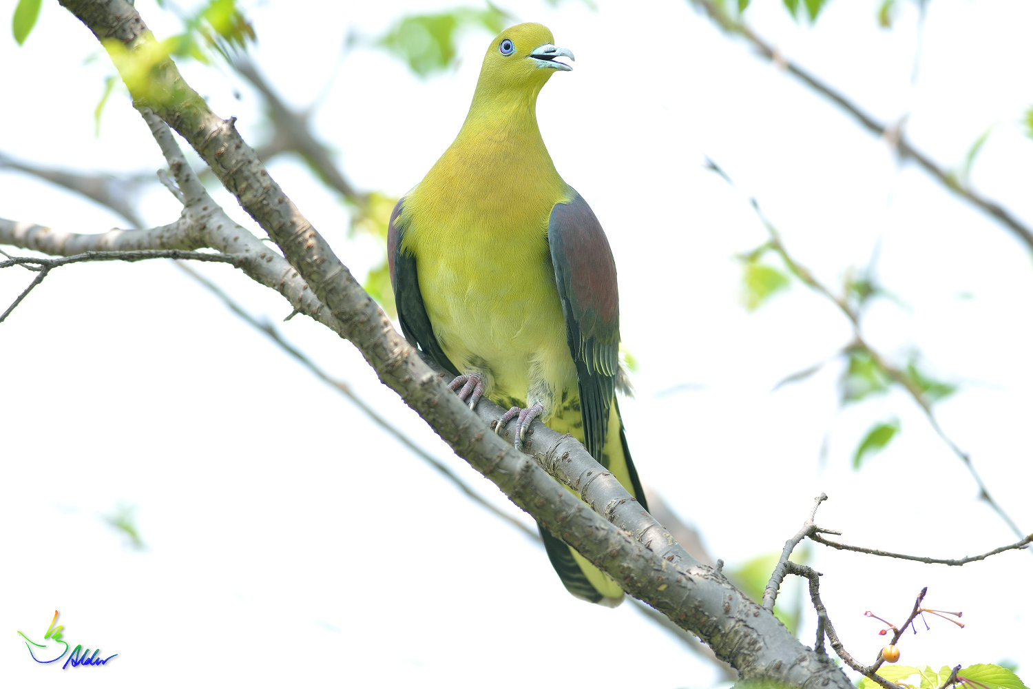 White-bellied_Green_Pigeon_5827