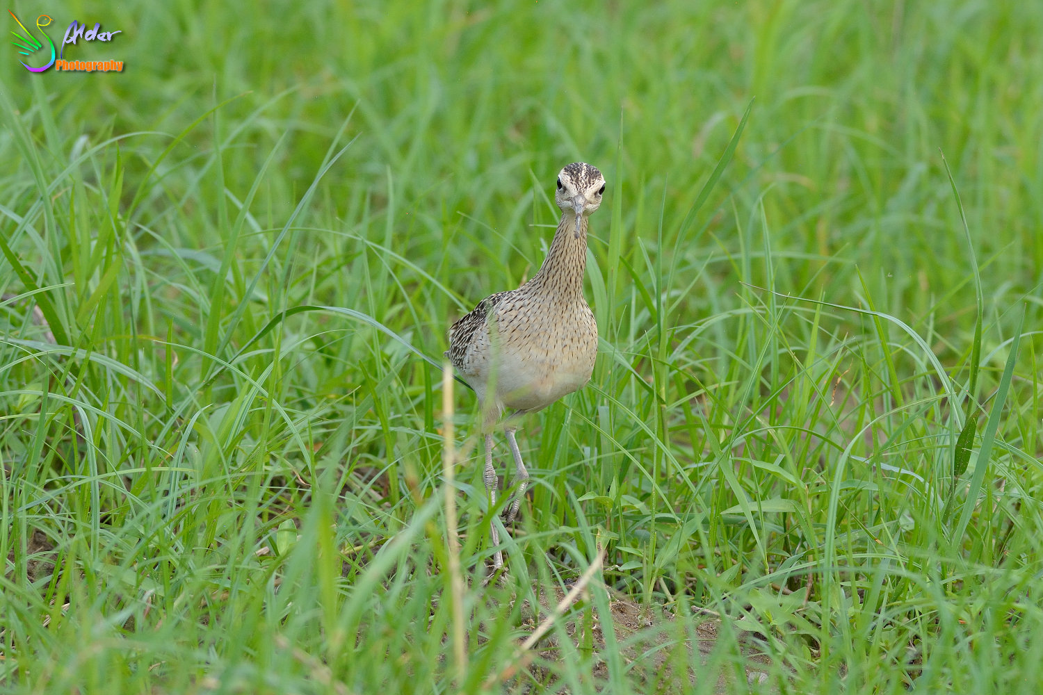 Little_Curlew_1952