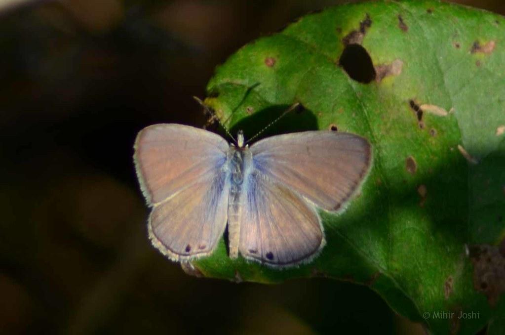 Gram Blue [Male]
