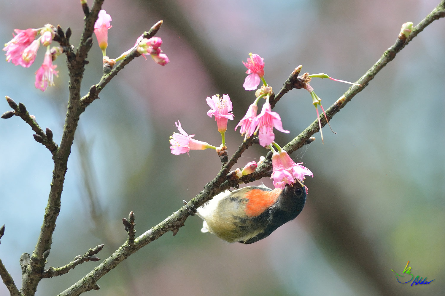 Fire-breasted_Flowerpecker_1729