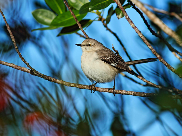 Northern Mockingbird 20160124