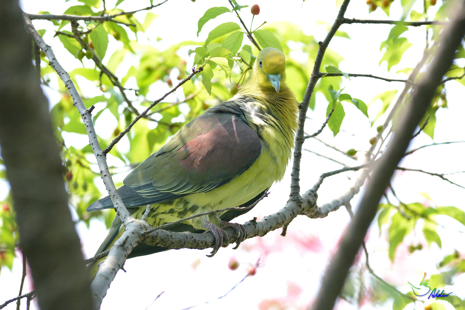 White-bellied_Green_Pigeon_5699