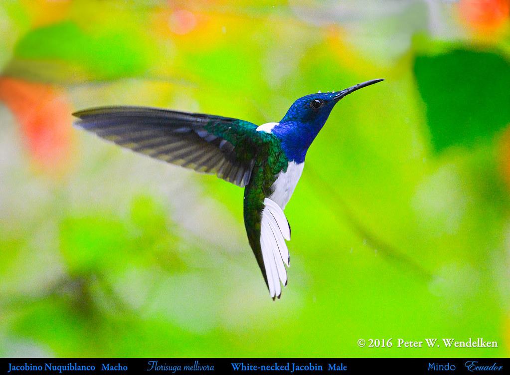 WHITE-NECKED JACOBIN Florisuga mellivora, a Male in Mindo, ECUADOR. Hummingbird Photo by Peter Wendelken.