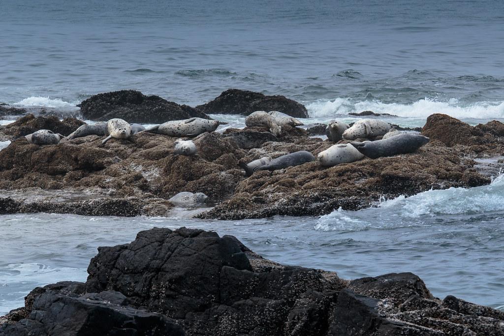 Seehunde auf einer kleinen Insel nahe vor der Küste