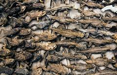 Lizards, Frogs, Toads Togo Voodoo