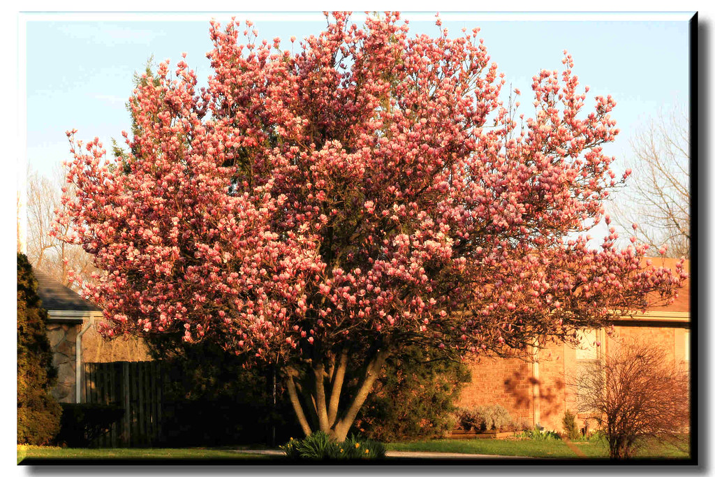 Saucer Magnolia Tulip Tree Tulip Tree or Saucer Magnolia