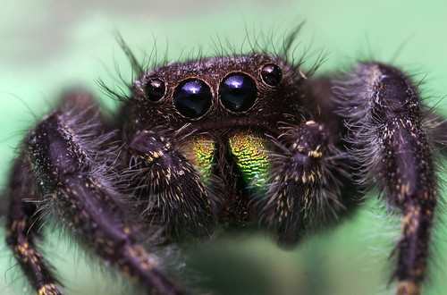 Female Phidippus Audax Jumping Spider | by Thomas Shahan