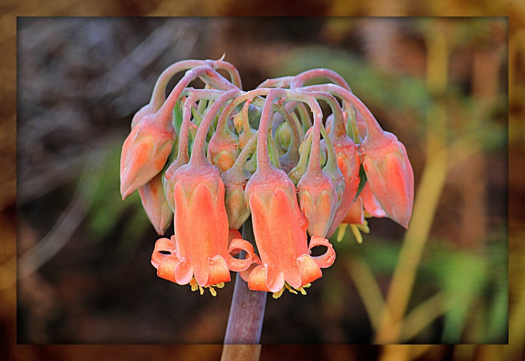 wild mountain succulent flower