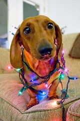 It's the Christmas Dachshund... | by jillbeninato
