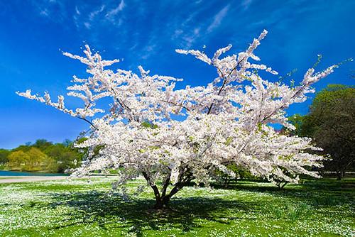 a spring flowering tree