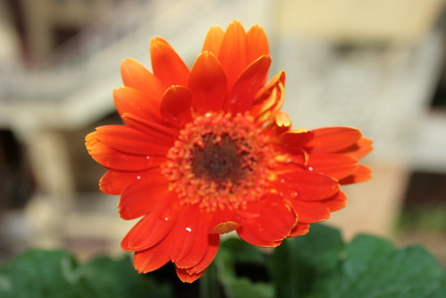 gerbera @ home | by Swami Stream