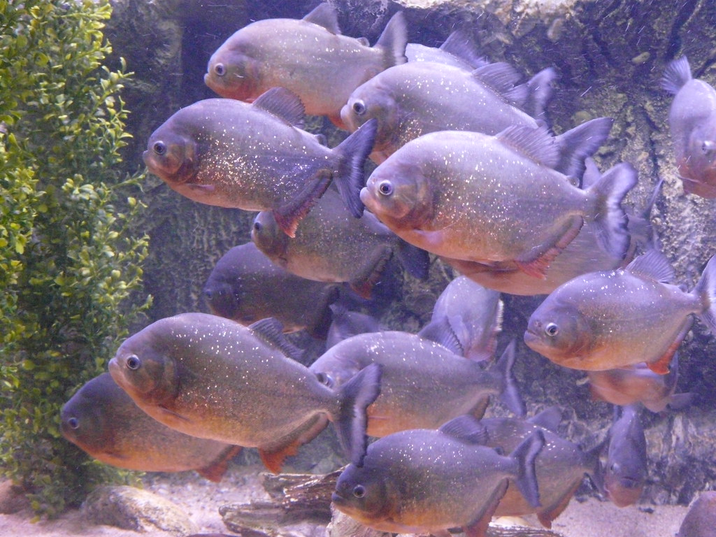 Red Belly Piranha Fish Tank Red Bellied Piranha by