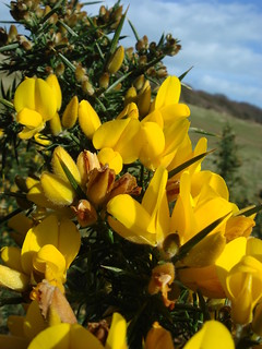 Gorse in Flower | by Durlston Country Park