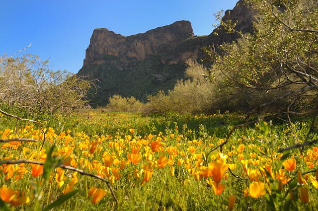 Picacho Peak Poppys
