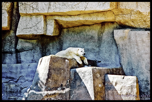 Polar bear Brookfield Zoo Illinois | by Rasidel Slika