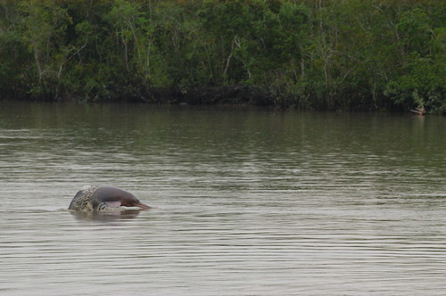 River dolphins | by BBC World Service Bangladesh Boat